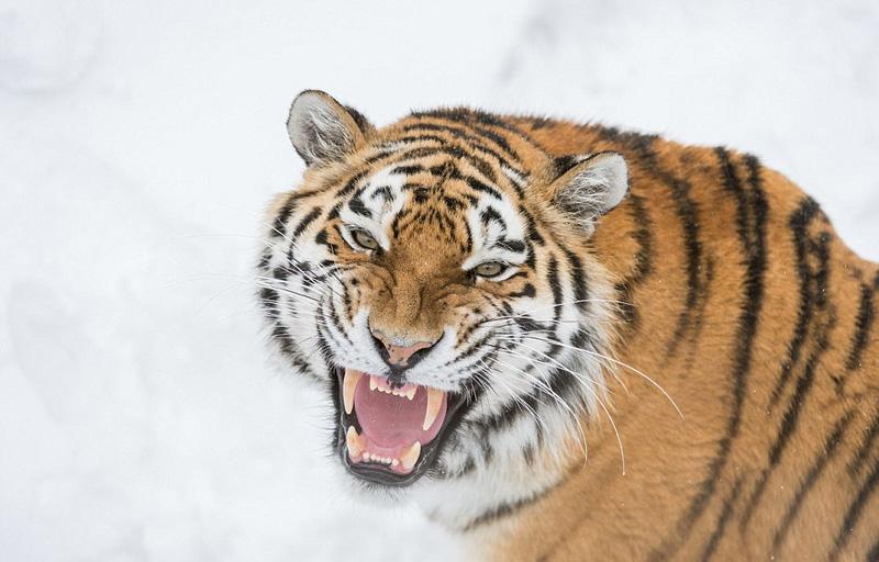 地相斗的照片,画面精彩,令人震撼.-瑞典两雄性老虎为争伴侣雪地