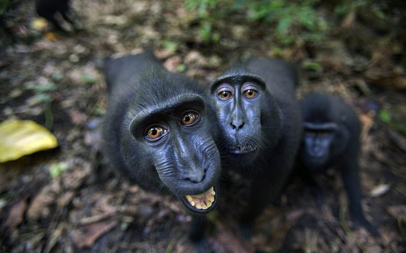 印尼猕猴面对镜头调皮摆拍微笑卖萌