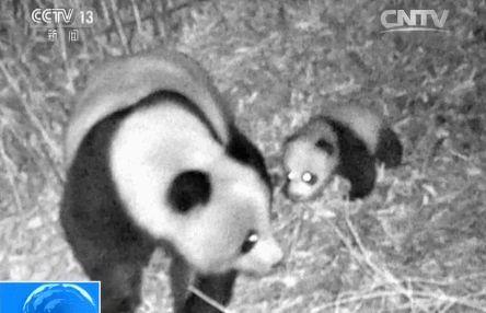 """红外相机拍到大熊猫妈妈带宝宝""""巡山"""""""