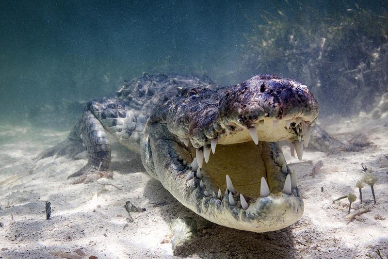 大胆摄影师水下拍摄鳄鱼特写走红