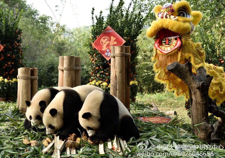 熊猫宝宝集体亮相 提前向全国人民拜年