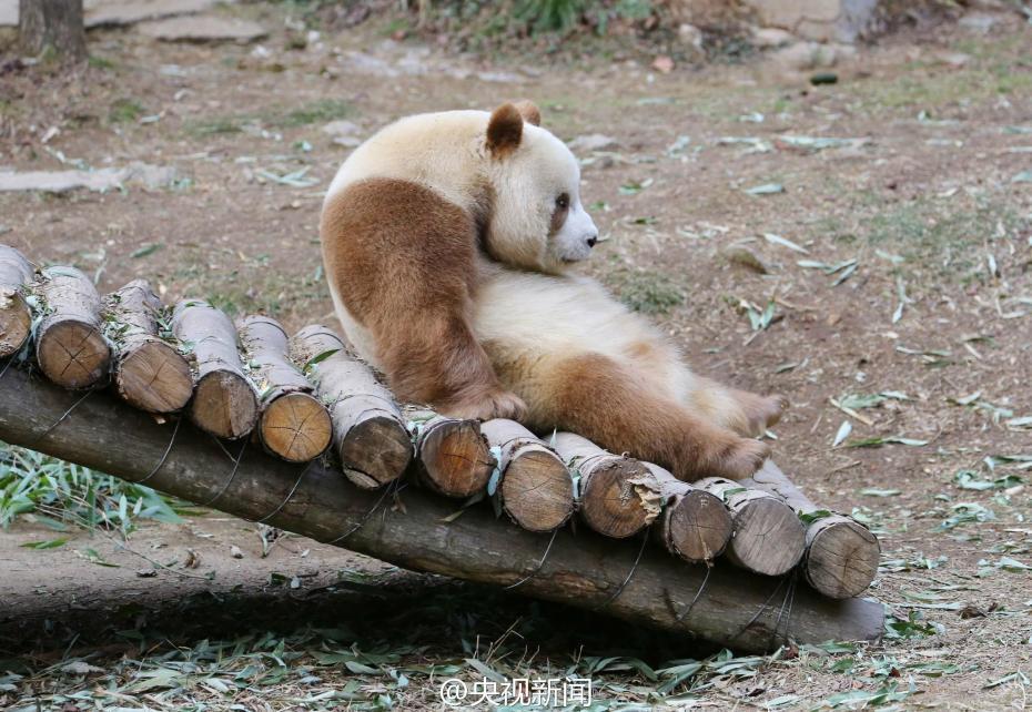 """棕色大熊猫七仔见雪变身""""雪花熊"""""""
