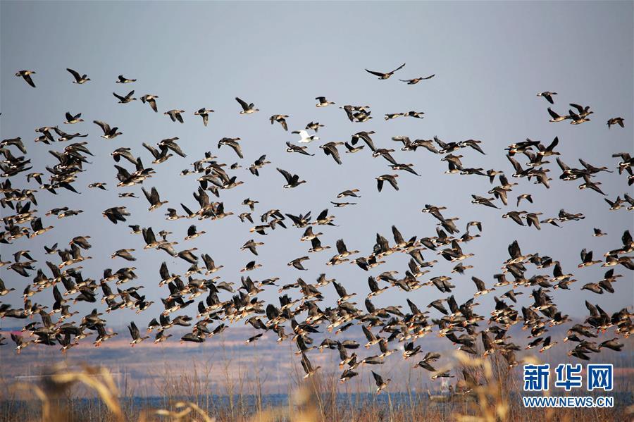 河北磁县迎来越冬候鸟迁徙高峰