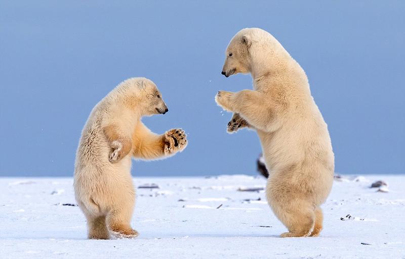 """萌翻!阿拉斯加两北极熊跳""""华尔兹"""""""