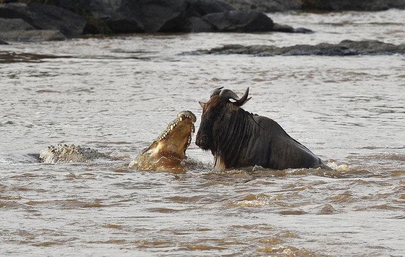 摄影师捕捉鳄鱼水中猎食角马画面