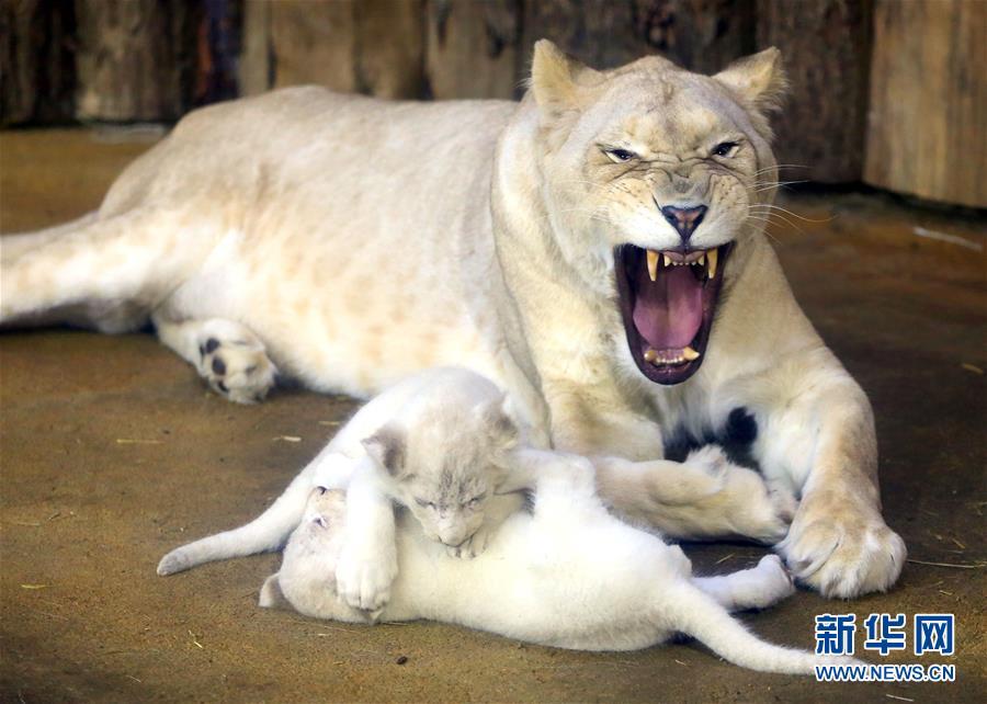 可爱的白狮幼崽