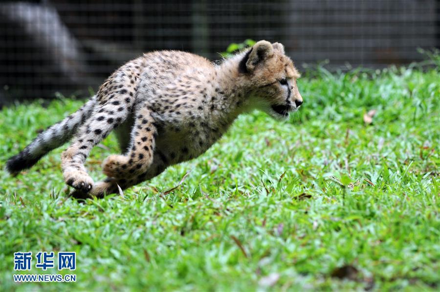 2月15日,猎豹幼崽在新加坡动物园里奔跑.