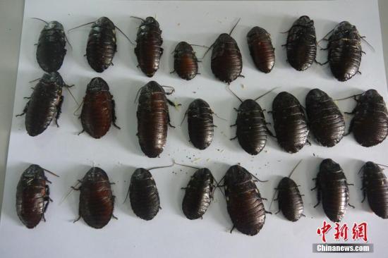资料图片:蟑螂。