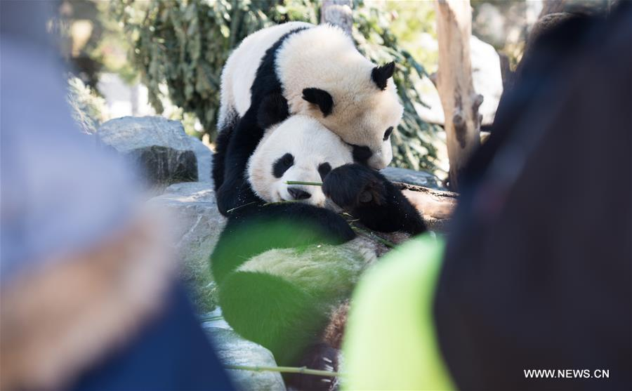 Giant pandas play at Toronto Zoo