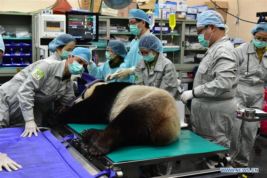 Veterinarians of Taipei Zoo check a giant panda before artificial insemination in Taipei, southeast China's Taiwan, March 17, 2017. Female giant panda Yuan Yuan, who has entered its heat period, received artificial insemination with male panda Tuan Tuan Friday.(Xinhua)