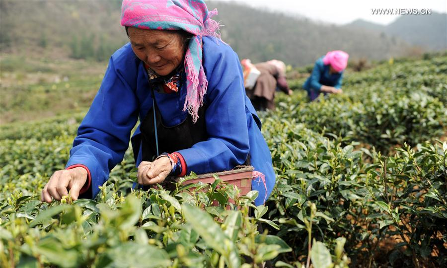 CHINA-GUIZHOU-TEA-HARVEST (CN)
