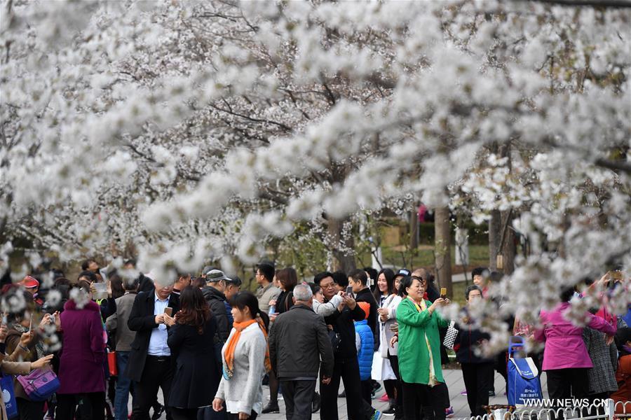 CHINA-BEIJING-YUYUANTAN PARK-CHERRY BLOSSOM(CN)