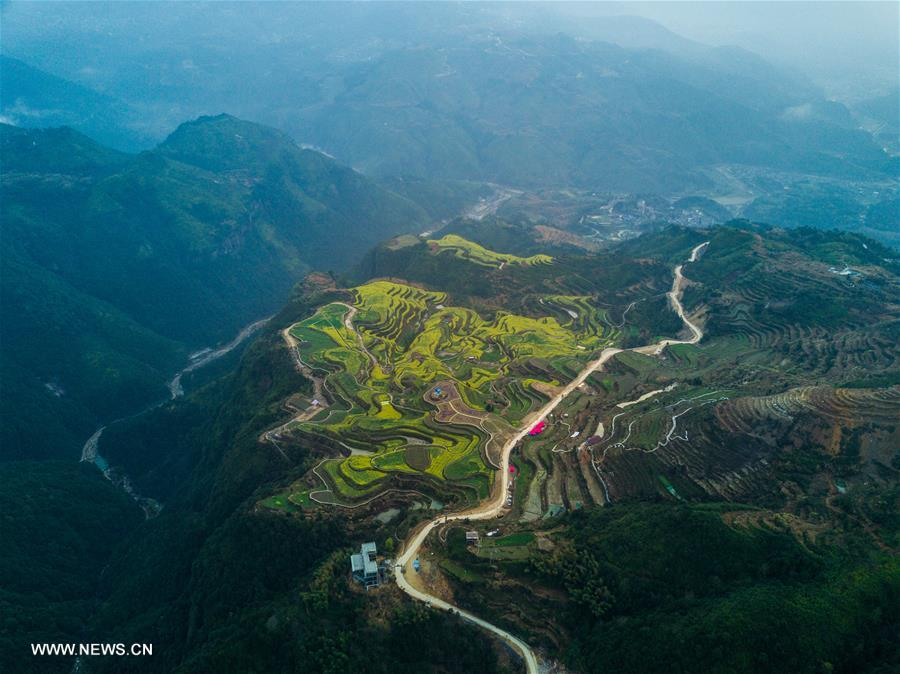Aerial view of cole flowers in terraced fields in east China's Zhejiang