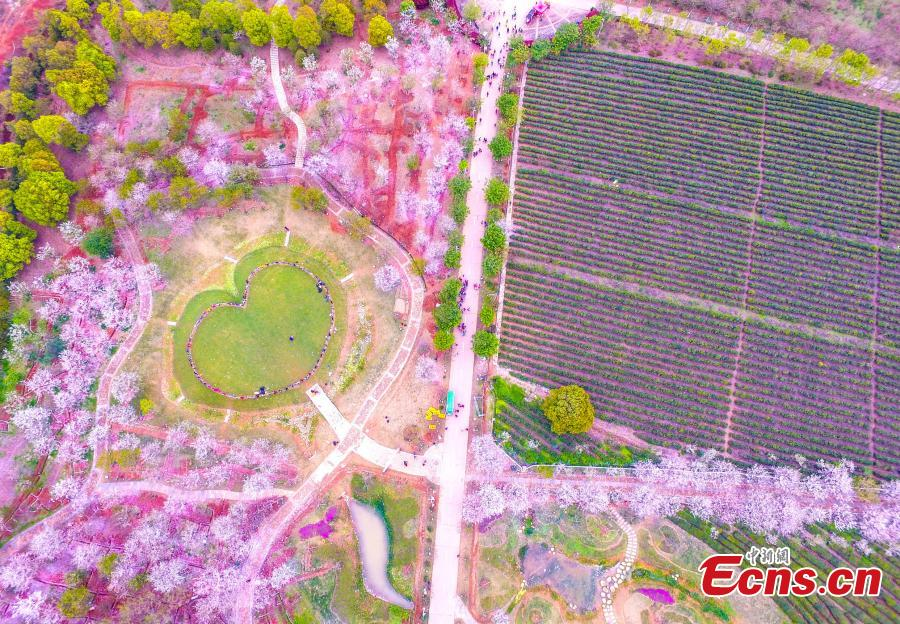 Cherry trees around heart-shaped lawn in full bloom