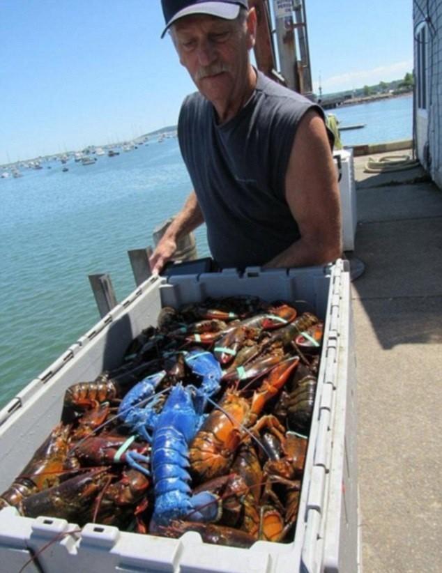 渔民捕获蓝色龙虾 概率200万分之一