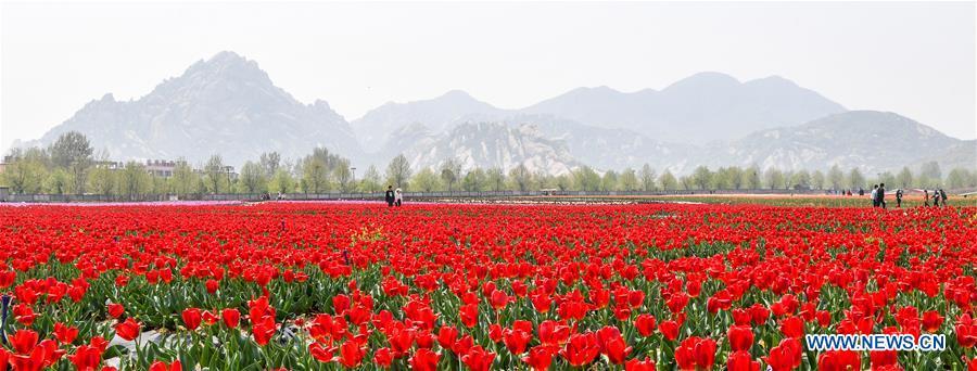 CHINA-HENAN-TULIP-BLOSSOM (CN)