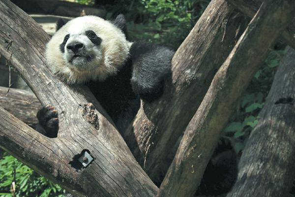 Panda love endures across the Pacific