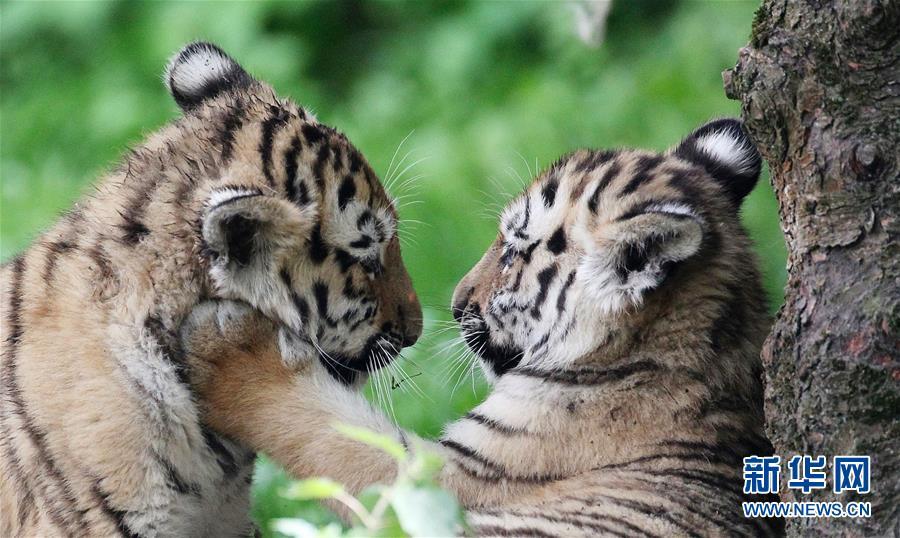双胞胎小老虎图片