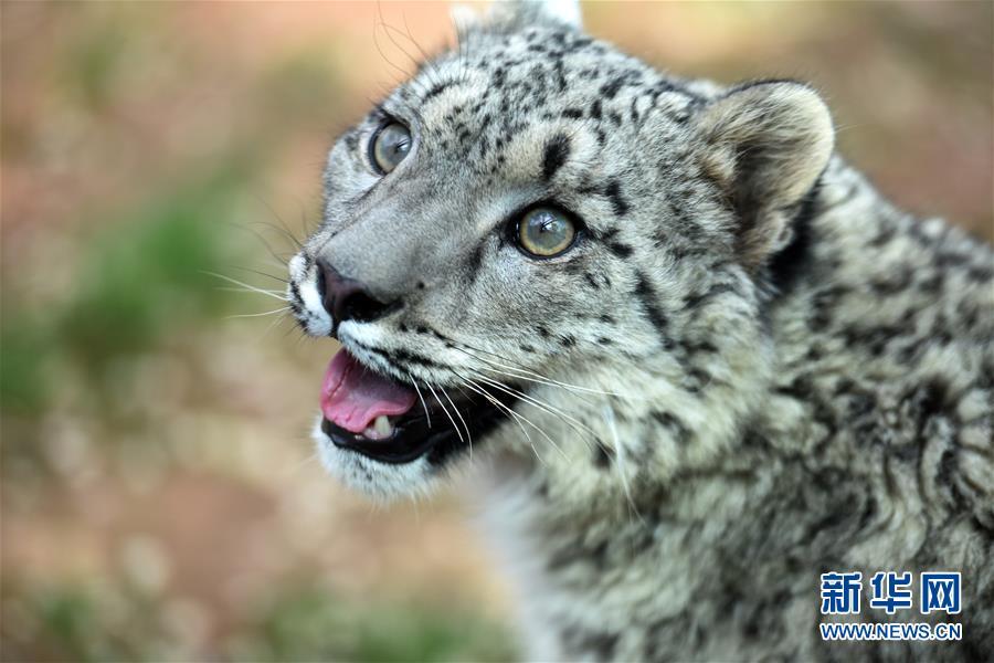 国内唯一现存人工繁育成活雪豹一岁了