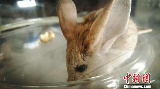 新疆柯坪县发现世界濒危灭绝动物长耳跳鼠(图)