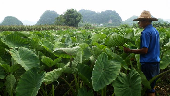 水口镇:槟榔芋丰收在望