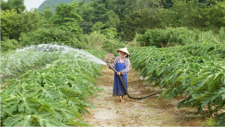 水口镇:多举措提高木瓜产量和质量