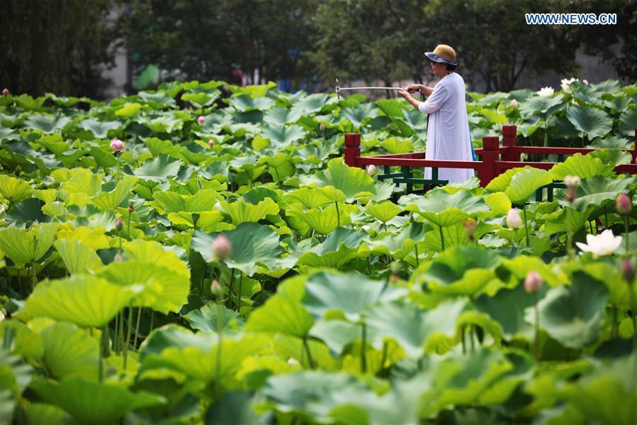 Lotus Flower Festival Held In N Chinas Hebei Peoples Daily Online