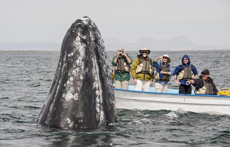 墨西哥咸水湖灰鲸出没 与游客零距离接触【5】