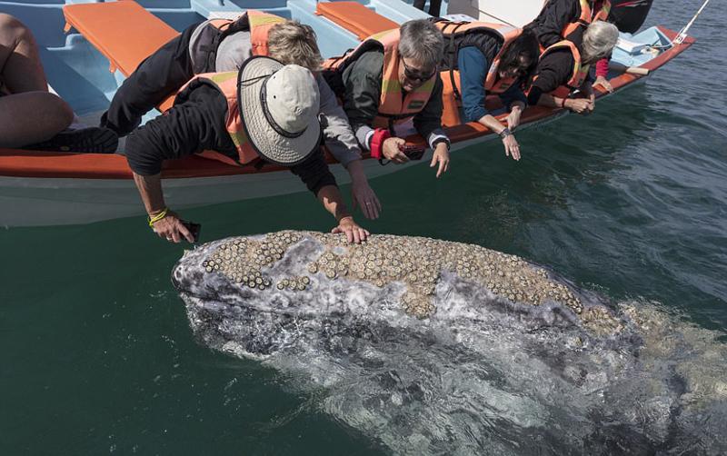 墨西哥咸水湖灰鲸出没 与游客零距离接触【8】