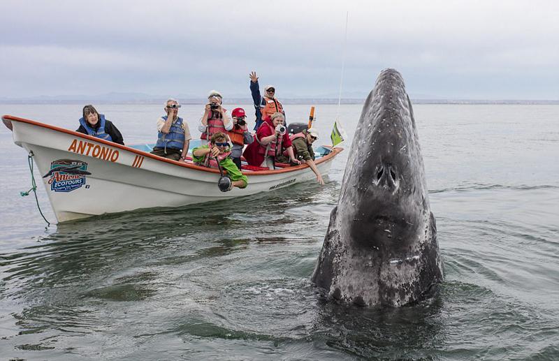 墨西哥咸水湖灰鲸出没 与游客零距离接触【7】