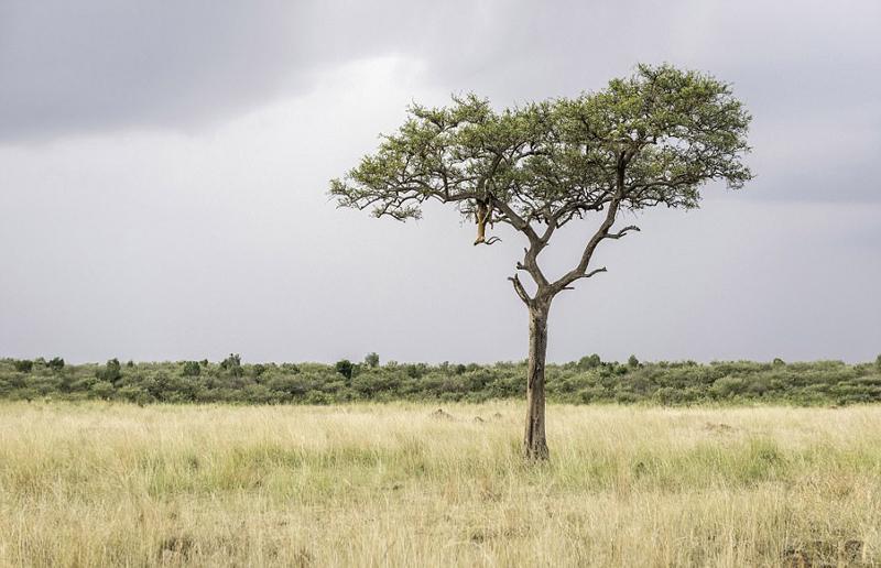 非洲猎豹巧妙伪装 悄然爬树接近猎物