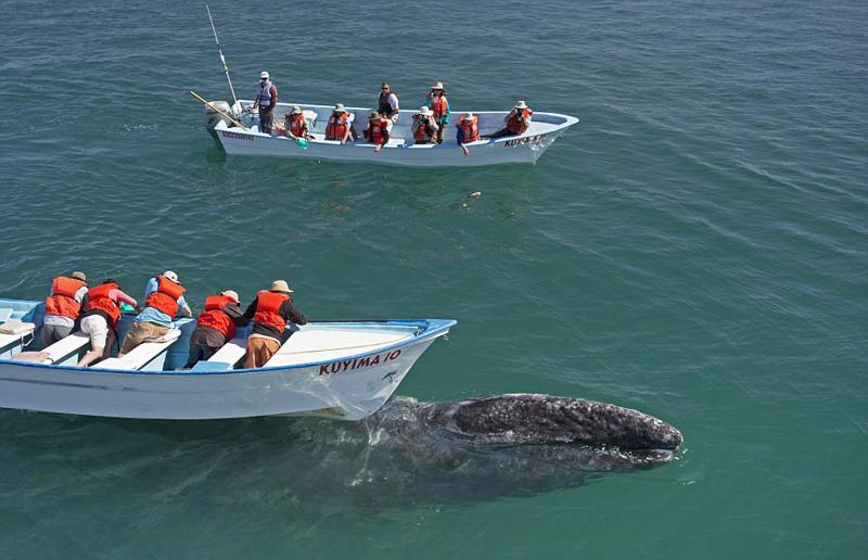 墨西哥咸水湖灰鲸出没 与游客零距离接触【4】