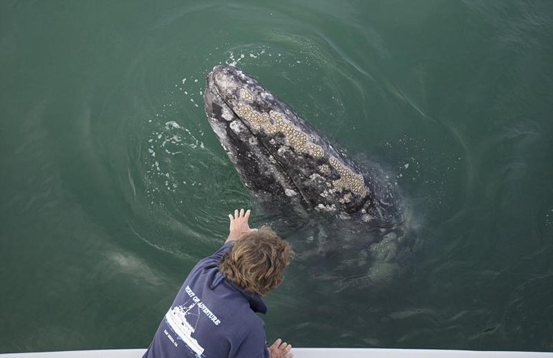 墨西哥咸水湖灰鲸出没 与游客零距离接触【10】