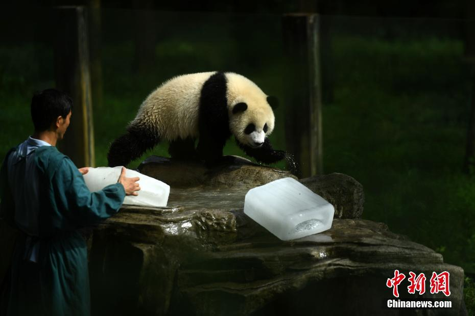 7月18日,重庆持续高温天气,杨家坪动物园工作人员为大熊猫送冰块
