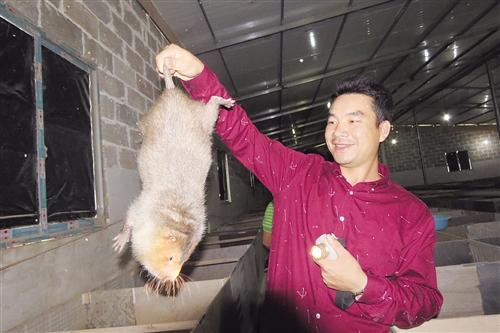 马山:小竹鼠带来大收入 贫困户圆了致富梦