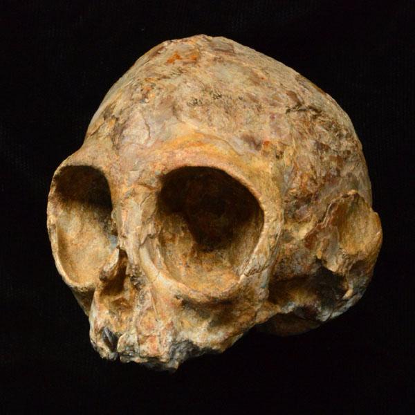 肯尼亚发现1300万年前猿类幼崽头骨 或许是人类始祖