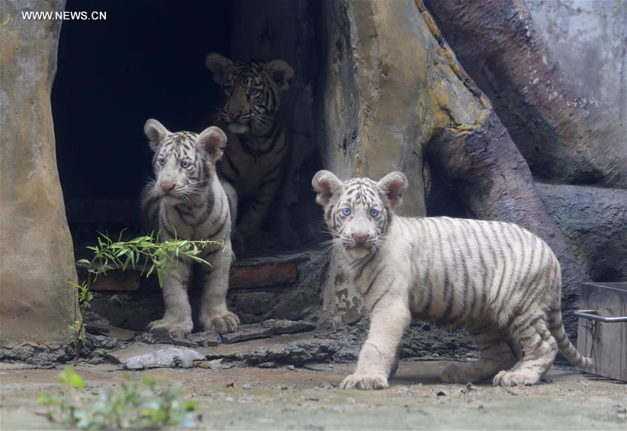 Tiger triplets meet public at Jinan Zoo in east China