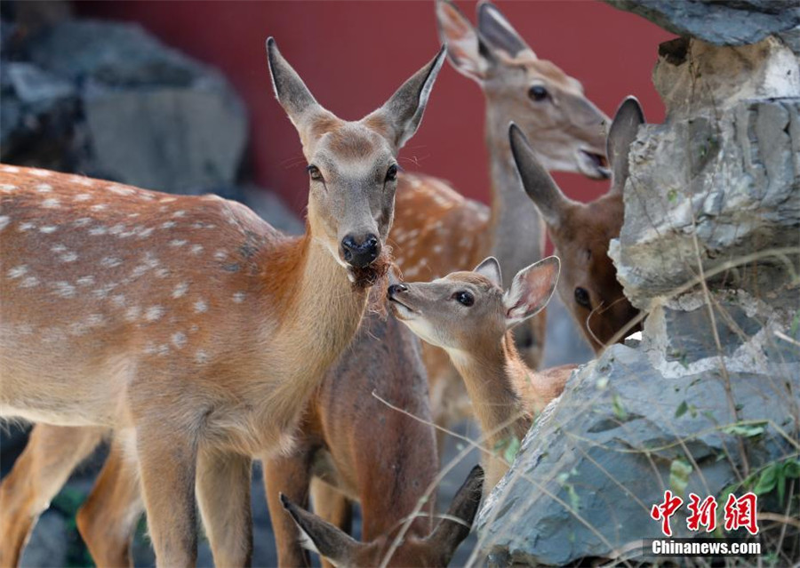 Sika deer to go on public display in Beijing's Palace Museum
