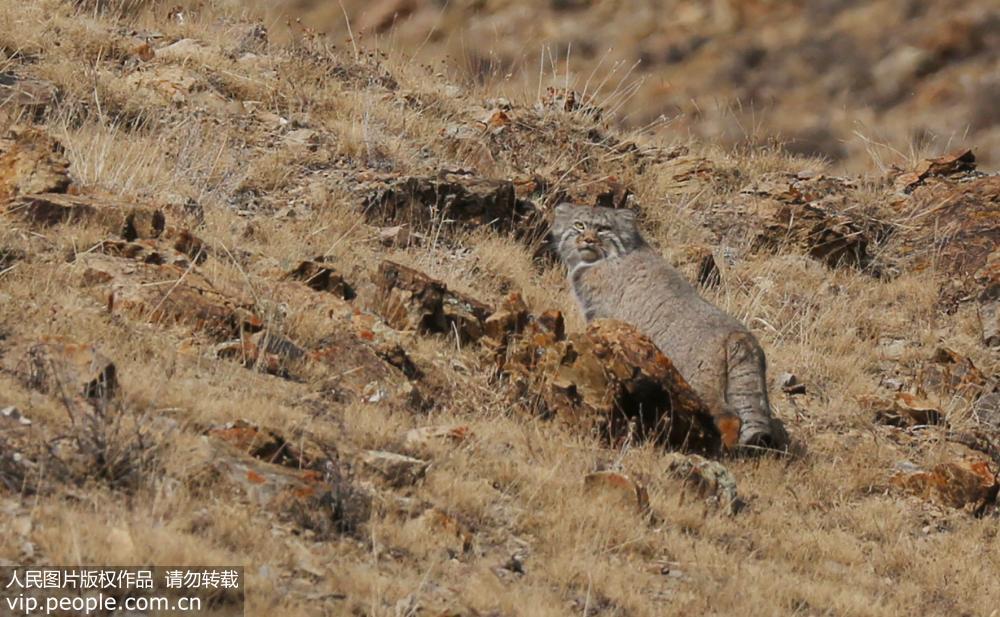 新疆博州首次拍摄到兔狲珍贵画面  已被收录《中国濒危动物红皮书》