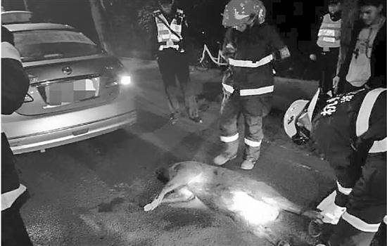 的姐凌晨驱车路过虎跑,下山野猪撞上出租车