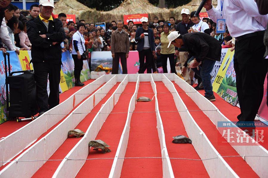 南宁金陵玄武文化节:龟鳖赛跑引发阵阵欢呼(组图)