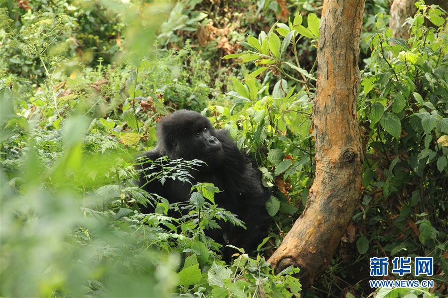 (国际・图文互动)(1)通讯:非洲火山下的野保接力