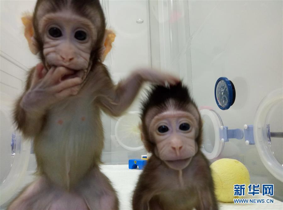 (科技)(1)世界生命科学重大突破! 两只克隆猴在中国诞生