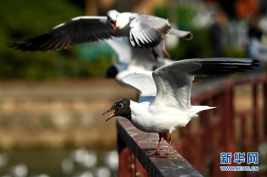 (环境)(2)大批红嘴鸥即将返乡