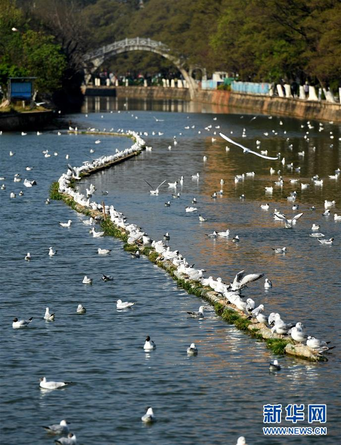 (环境)(1)大批红嘴鸥即将返乡