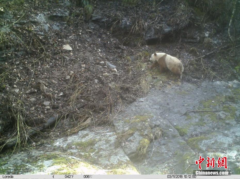 陕西再次发现野生棕色大熊猫