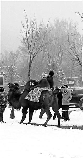 老人骑骆驼被摔翻在地