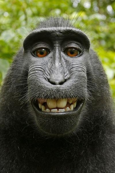 """""""猴子自拍照""""版权到底归谁? 美国这样判"""