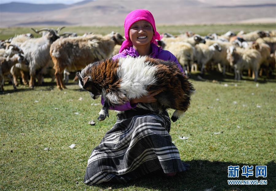 (經濟)(4)西藏日喀則牧民剪羊毛