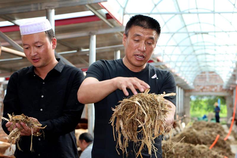 """苏银矿(左)和马进福(右)展示""""粮改饲""""后种植的青贮饲料。"""